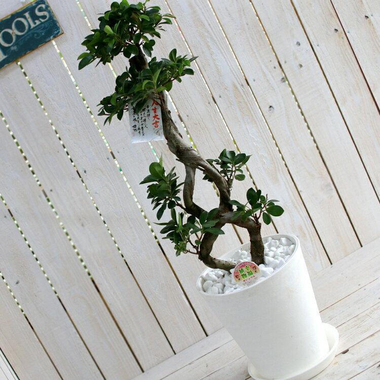 ポイント10倍 ガジュマルの木 8号鉢(観葉植物 鉢植え)