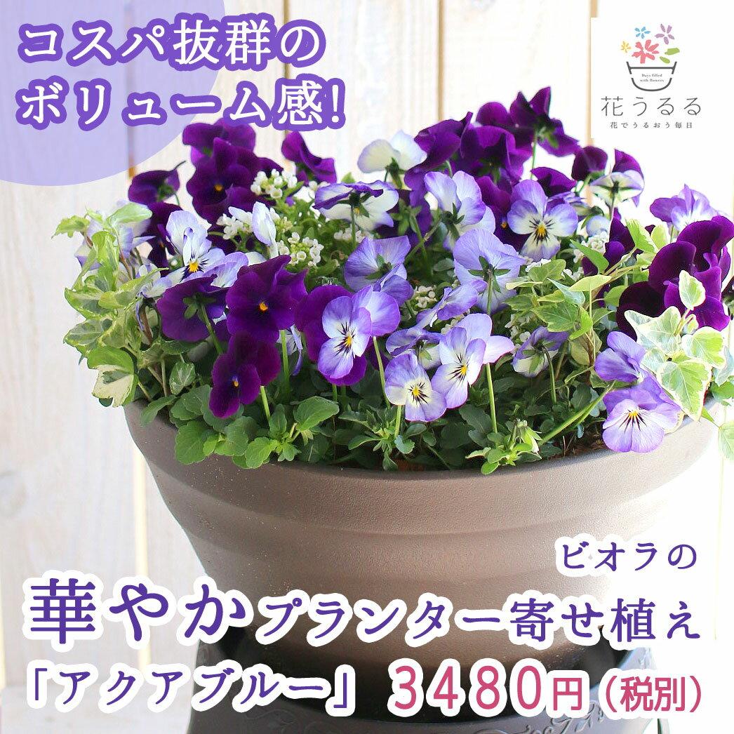 ビオラの寄せ植え「アクアブルー(プランターver)」(3色から選べるおしゃれ プランター)開花期:今から春まで(寄せ植え/春/セット/ギフト/花/フラワー(2018)