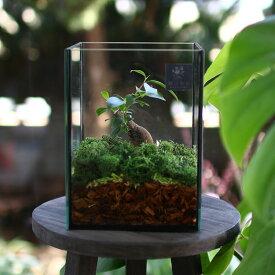 送料無料 観葉植物 [テラリウム Sサイズ] (ガジュマル×1) (ガラス ケース インテリア 完成品 観葉植物 モダン アクアリウム おしゃれ 小さい リビング 水槽 開店祝い 新築祝い 苔リウム コケリウム 男性