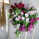 [送料無料] ビオラのハンギングバスケット寄せ植え 「ローズリバー」(シンプル)開花期:今から初夏まで(ハンギング/寄…