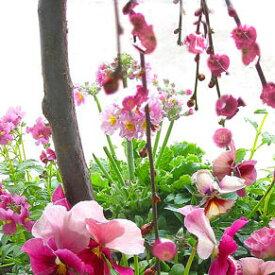 【送料無料】花うるるの和モダン鉢 寄せ植え 「しだれ咲き花梅」(高さ約110cm前後)(寄せ植え)