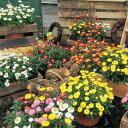 「ヘリクリサム パステル6色 バラ売り9cmポット苗」鑑賞期2月〜12月 鮮やかな花色で開花期長く楽しめる 花 ガーデン DIY ガーデニング …