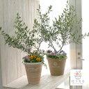 【選べる鉢2種類】【送料無料】「オリーブの木 〜季節の花を寄せ植え テラコッタver(高さ110〜120cm前後)」(ご自宅…
