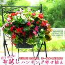 ハンギングバスケットの寄せ植え「お試しベゴニア版」 初めてのお客様限定/開花期:今から春まで(ハンギング/玄関 寄せ植え 春 寄せ植…