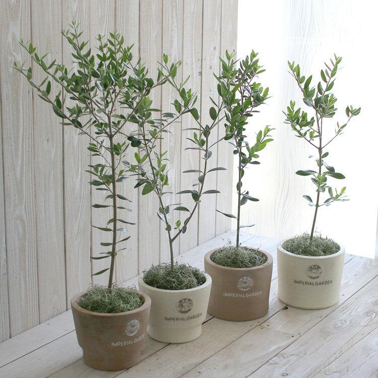 【ミニオリーブ】【選べる鉢 2種類 2色】「オリーブの木 (高さ60〜70cm前後 品種:マンザニロ)」オリーブの木 苗木 観葉植物 オリーブ 鉢植え ガーデニング 農業