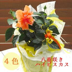 \珍しい八重咲きハイビスカス4色/ ハイビスカス 八重咲 鉢植え 各色 イエロー レッド ホワイト オレンジ 5号鉢 高さ約40〜50cm 誕生日 結婚祝い カード付きOK 花鉢