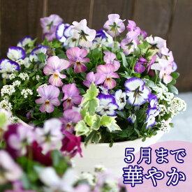 ビオラの寄せ植え「パステルリバー(プランターver)」(3色から選べるおしゃれ プランター)開花期:今から春まで(寄せ植え 春 セット ギフト 花 フラワー(2020)