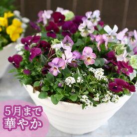 ビオラの寄せ植え「ローズリバー(プランターver)」(3色から選べるおしゃれ プランター)開花期:今から春まで(寄せ植え/春 セット ギフト 花 フラワー(2020)
