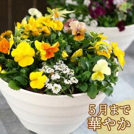 ビオラの寄せ植え「サニー(プランターver)」(3色から選べるおしゃれ プランター)開花期:今から春まで(寄せ植え 春 セット ギフト 花 フラワー(2020)