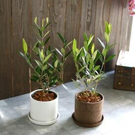 【ミニオリーブ】「 オリーブの木 (高さ40〜45cm前後) 選べる鉢 2色 」 オリーブの木 販売 苗木 観葉植物 オリーブの木 鉢植え ガーデニング 農業