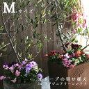 【送料無料】「オリーブの木 in ラグジュアリーコンテナ M(高さ110cm〜130cm)」 ご自宅用 店舗 メインツリー シンボ…