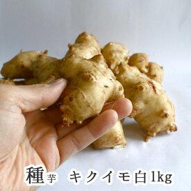 春植え 種イモ「 白 菊芋 1kg(秋田県産)」イヌリン 成分 種芋 種 きくいも 種いも 苗 イモ 家庭菜園 苗 春植え