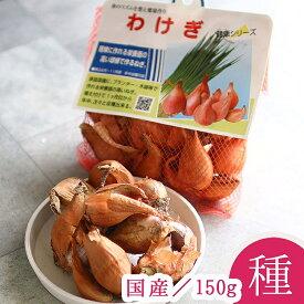 「 わけぎ (愛知県産)種子 150g」分葱 わけぎ 球根 国産 種子 種 苗 家庭菜園