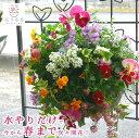 [送料無料] パンジー&ビオラのハンギングバスケット寄せ植え「カシスオレンジ」 (Mサイズアレンジ)開花期:今から春…