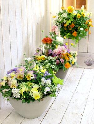 【送料無料】ご予約殺到「おまかせプレミア寄せ植え」プロの寄せ植え師が、あなたのためだけに作成するオリジナル寄せ植え。届いてすぐ飾れ数カ月咲き続けます(寄せ植え秋冬鉢ギャザリングおしゃれ