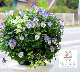 [送料無料] ビオラのハンギング寄せ植え 「ブルー スワール」(シンプル)開花期:今から春まで(ハンギング/寄せ植え/ギフト/花/フラワー/誕生日プレゼント(2020)