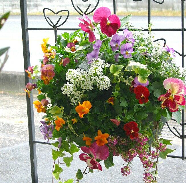 パンジー ビオラ ハンギングバスケット 寄せ植え [カシスオレンジ] Mサイズ 寄せ植えハンギング 寄せ植え 冬 セット 寄せ植え ギフト 花 フラワー 寄せ植え