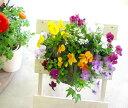ビオラのハンギングバスケット 寄せ植え「レインドロップ」(シンプル)開花期:今から春まで(ハンギング/寄せ植え/秋/…