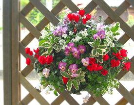 [Lサイズ]ガーデンシクラメンのハンギングバスケット寄せ植え「ピンク スノー」開花期:今から春まで(ハンギング/寄せ植え/秋/冬/セット/ギフト/花/フラワー