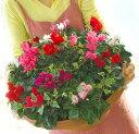 [送料無料]ガーデンシクラメンのメガ盛り寄せ植え「ジュエリーBOX〜Grande」シクラメン 寄せ植え 冬 クリスマス(2020)
