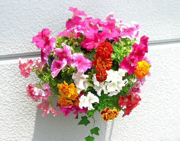 [Lサイズ] ペチュニアのハンギング寄せ植え [ピンク オパール] (寄せ植え/セット/ギフト/花/寄植え/鉢植え/壁掛け/ハンギング/春/夏/通販