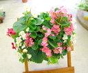 ベゴニアのハンギング寄せ植え [ピーチ(シンプル)] 開花期間:春から晩秋まで(寄せ植え/セット/ギフト/花/寄植え/鉢植…