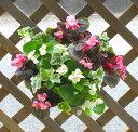ベゴニアのハンギング寄せ植え [天の川(シンプル)] 開花期間:春から晩秋まで(寄せ植え/セット/ギフト/花/寄植え/鉢植…