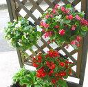 【3個セット 送料無料】ベゴニアのハンギング寄せ植え [3色セット福袋] 開花期間:春から晩秋まで(寄せ植え/セット/ギ…