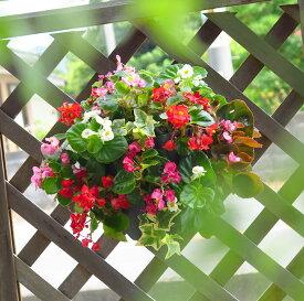 ベゴニアのハンギングバスケット寄せ植え [カラフルMIX(シンプル)] 開花期間:春から晩秋まで(玄関 寄せ植え 春 寄せ植え/セット/ギフト/花/寄植え/鉢植え/壁掛け/春/夏/通販