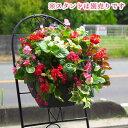 ハンギングバスケットの寄せ植え「お試しベゴニア版」 初めてのお客様限定/開花期:今から春まで(ハンギング/寄せ植え/春/夏/セット/…