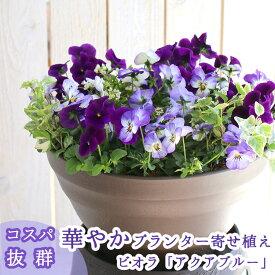 ビオラの寄せ植え「アクアブルー(プランターver)」(3色から選べるおしゃれ プランター)開花期:今から春まで(寄せ植え/春/セット/ギフト/花/フラワー(2019)