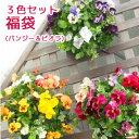 パンジー&ビオラのハンギングバスケット 寄せ植え 「3色セット福袋」(シンプル)開花期:今から春まで(ハンギング/寄…