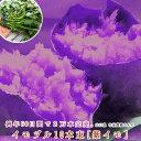 サツマイモ 苗 販売【紫イモ 苗(イモヅル)10本】(品種:喜界紫(きかいむらさき)(※メール便不可※)お菓子作りに最適な、アントシ…