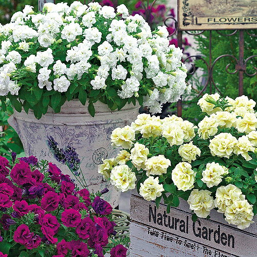 手間要らずで「ギュギュ」っと花が密に咲く!タキイ育成・多花性小輪八重咲きペチュニア「ギュギュ ダブル(4色バラ売り 苗 八重咲き