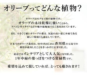 鶴亀園meets花由香川オリーブの木5号鉢
