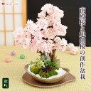 桜 盆栽 さくら咲く 花芽付 南殿桜と旭山桜の創作盆栽 信楽焼手造り 盆栽鉢 ブロッサムガーデン 送料無料 2/8〜3/31で…