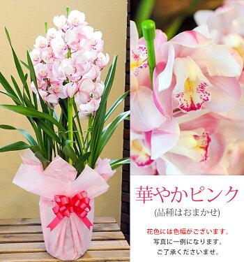 【送料無料】お歳暮に最適!色が選べる!洋蘭の国、徳島からシンビジウム3本立をお届けします!