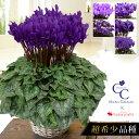 受付は12/11 AM10時まで 送料無料 日本が誇る大栄花園さんのブルーシクラメン 5号鉢 バスケット付 お歳暮 好適品 ※寒…