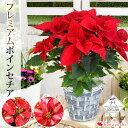 モリヒロ園芸さんの季節の鉢花 送料無料 プレミアム ポインセチア シャイニングレッド アイスパンチ プリメーロジング…