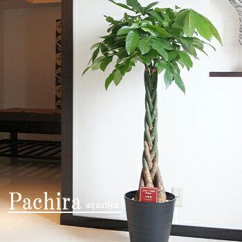 パキラ 大型 観葉植物 10号鉢 黒丸鉢皿付 送料無料 夏の観葉