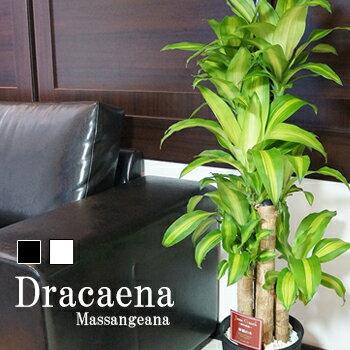 幸福の木 ドラセナ マッサンゲアナ など 選べる観葉植物 大型 8号鉢 約110〜120cm 黒丸鉢/白丸鉢 受け皿付 送料無料