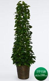観葉植物 大型 ポトス タワー 仕立て 10号鉢 カゴ 送料無料 観葉植物 開店祝い インテリア 開業祝い 人気 おしゃれ 移転祝い オフィス 即S12