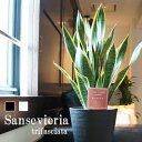 サンセベリア サンスベリア(トラノオ) 黒丸鉢 白丸鉢 受け皿付 8号鉢 マイナスイオン【観葉植物】【送料無料】【お…