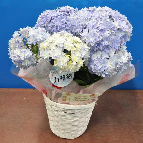 【期間限定特別価格】【母の日】 早割 アジサイ 万華鏡 5寸 カゴ付き 底面吸水 プラ鉢 鉢花 日時指定不可 希少植物 母の日