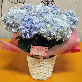 【カゴと母の日カード不要の場合はお申し付け下さい】アジサイ 万華鏡 5寸 カゴ付き 底面吸水 プラ鉢 鉢花 希少植物 母の日