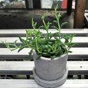 【希少なため数量限定販売】セネキオ ドルフィンネックレス トウキ鉢  多肉植物 希少植物 はっぴーくろーばー