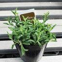 セネキオ ドルフィンネックレス 8×8苗鉢  多肉植物 希少植物 はっぴーくろーばー
