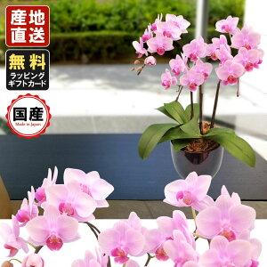 胡蝶蘭 ミニ ミディ胡蝶蘭4.5号鉢 3本立 ピンク プレゼント 母の日 父の日 敬老の日 お祝い