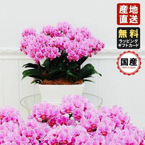 胡蝶蘭 ミニ ミディ胡蝶蘭タルト鉢 9号鉢 12本立 ピンク プレゼント 母の日 父の日 敬老の日 お祝い