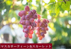 マスカサーティーン (1房) スカーレット (1房) の セット(本州限定)ぶどう ブドウ 葡萄 フルーツ 果物 長野 信州 詰め合わせ ギフト 贈り物 家庭用 自宅用
